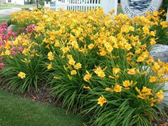 Daylily Stella de Oro- plant in sun in zone 8.  A drought resistant reblooming plant