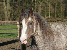Sir Patrick's Maximum - Riverside Curly Horse Ranch - Europa's größte Curly Zucht