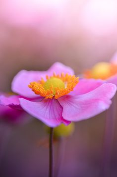 ~~Thinking Pink | Anemone | by Andrei Stepanov~~