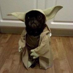 この着ぐるみウケル(笑)  Yoda pug