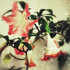 """The Amen of nature is always a flower."" #staugustine #florida #celestial#color#nature_perfection #plantknot #naturelovers #flower#nature#staugsocial #staugustinebuzz #totallystaugustine #florida_insta #fpog#garden#iphone #stilllife#flowerphotography #instagood#angelstrumpet #floridahistoriccoast #beautiful #plants#lovenature #flowerstagram#igers_staugustine by erikabeaches"