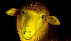 Using a gene from a jellyfish, allowing them to produce a green fluorescent protein, scientists in Uruguay have announced the world's first genetically-modified phosphorescent sheep. The nine sheep were born in October of 2012 at Uruguay's Institute of Animal Reproduction, an experiment conducted in conjunction with the Institut Pasteur.