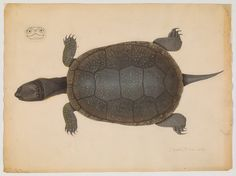 love the front view of the head! ;-) Drawing of top view of turtle and cross section of head (16 x 30 cm., 2 x 3 cm.) Repository: Ernst Mayr Library, Museum of Comparative Zoology, Harvard University Call number: bAg 168.60.10 (10)i
