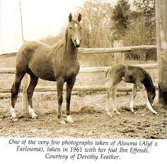 Alouma Arabian-in my horse's breeding