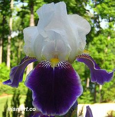 Wabash Tall Bearded Iris (CMT - I'm trying this, fall 2013)