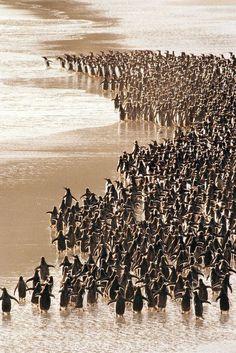 Gentoo penguins heading to sea Pygoscelis papua Falkland Islands by Erfàn P. Ab