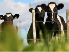 Vacas fuera del establo.