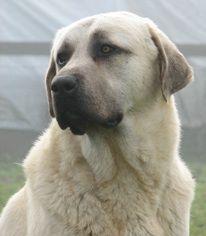 Anatolian Shepherd Dogs    looks like Beau with darker features! @Dee Avard