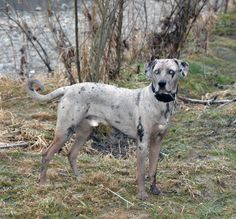 this catahoula leopard dog Cute Cats And Dogs, Dogs And Puppies, Doggies, Cute Animal Quotes, Cute Animals, Pitbull, Catahoula Cur, Rare Dog Breeds, Husky