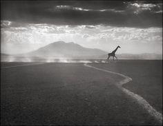 Giraffe Running, Amboseli 2010