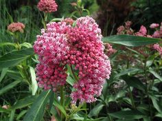 Swamp Milkweed (Asclepias incarnataA must in butterfly gardens, swamp milkweed is a host plant for monarch butterfly caterpillars. Butterfly adults visit blooms, along with many other pollinators
