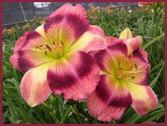 'Peppermint Somersault' Daylily