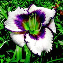 The Blueberry Sundae Daylily looks so good you could eat it! This Blueberry Sundae Daylily is a re-blooming variety with white petals, outlined with blueberry colored edges. Daylilies are resilient, easy to grow plants that thrive in sunny planting. Bulb Flowers, Beautiful Flowers, Shasta Daisies, Daylily Garden, Delphinium, Day Lilies, Growing Plants, Spring Flowers, Gardens