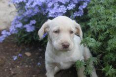 Labradoodle Puppies For Sale, Labrador Retriever, Adoption, Dogs, Animals, Labrador Retrievers, Foster Care Adoption, Animales, Animaux
