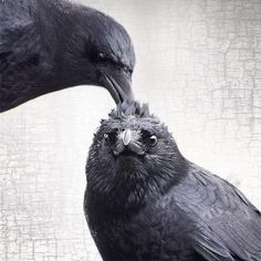 Hair Do - Crow Family Moment - Signed Fine Art Photograph by June Hunter, Black and White, Square, Crow Lover Gift Crow Art, Raven Art, Quoth The Raven, Jackdaw, Crows Ravens, Foto Art, Tier Fotos, Spirit Animal, Beautiful Birds