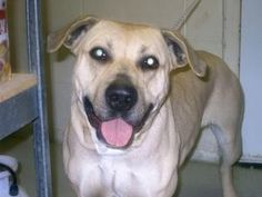 Diamond is an adoptable Pit Bull Terrier Dog in Emporia, VA.  ...female, very friendly and sweet. UTD on shots. call 434-634-2121 for more info on adopting. zip code 23847