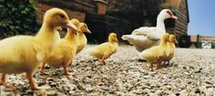 How to build a duck pen