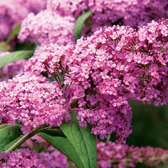 Butterfly bush --(Buddleja dcvidii) -- top 22 plants for bees - Better Homes & Gardens