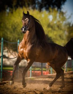 Art Dekko TT :: Arabian horses of Aria International - Arabian horses, stallions, mares, colts, fillies, for sale