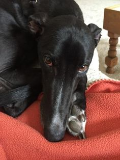What a beauty! Prayers you find your forever home quickly! **I ♡ black greyhounds**  Welcome to Greyhound Adoption, Honey Bee!