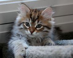 siberian forest kitten