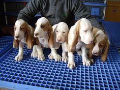 sabueso espanol cachorres..or really stinking cute hound babies!