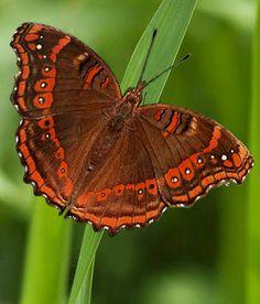 Beautiful Bugs, Beautiful Butterflies, Butterfly Species, Butterfly Pictures, You Give Me Butterflies, Butterfly Wings, Amphibians, Photos, Habitats