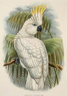 "John Gould (English, 1804-1881) and Richard Bowdler Sharpe (1847-1919) - Triton Cockatoo, from ""The Birds of New Guinea and the Adjacent Papuan Island"", 1875-1888"