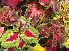 Summer color for shade garden Cute Garden Ideas, Autumn Scenes, Autumn Cozy, Carnivorous Plants, Indoor Gardening, Summer Garden, Shade Garden, Summer Colors, Top Artists
