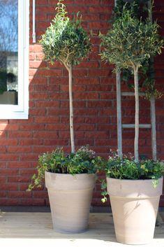 Bruk mer samplanting! -Samplante oliventre Hannas innredning Green Day, Garden Inspiration, Simple, Plants, Layout, Design, Patio, Pictures, Page Layout