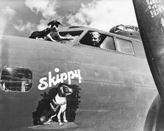 Skippy the dog flew 7 missions in a B-17 with the 2nd Bomb Group from Nth Africa, then went back to the US to live with Ken Spinnings widow.