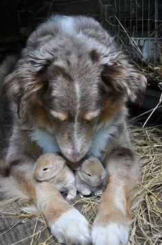 Mama dog taking care of baby rabbits
