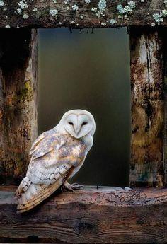coisasdetere:  Coruja - Barn owl photo by Alamy, in the Guardian.