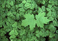 """""""Green Clovers""""  Quabbin Reservoir, Massachusetts"""