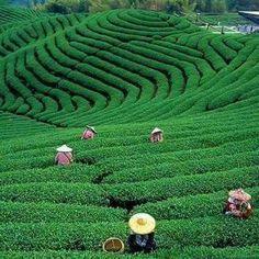 Green Tea Farm in Taiwan Taiwan Travel, Asia Travel, Bangkok Travel, Beach Travel, Tea Culture, Taipei Taiwan, Destinations, Thinking Day, Orchid Care