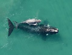 Southern right whales rely on the warm, calm waters of the Valdes Peninsula in Argentina as a calving ground. Photo credit: John Atkinson/Ocean Alliance