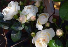 Rakas vanha valkoinen taloni Pergola, Rose, Flowers, Plants, Pink, Outdoor Pergola, Plant, Roses, Royal Icing Flowers
