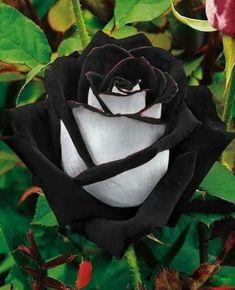 100 pcs/bag rose seeds, Black Rose Flower with White Edge, bonsai flower seeds Black Rose Flower, Black Flowers, Pretty Flowers, Black Roses, Amazing Flowers, Black Leaves, Yellow Roses, Pink Yellow, Rose Flower Colors