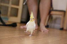 Adorable walking cockatiel!