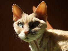Los gatos Rex: una generación muy reciente