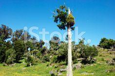 Twisted Podocarp Tree, New Zealand royalty-free stock photo Tree Fern, Image Now, Shrubs, Wind Turbine, New Zealand, Lush, Royalty Free Stock Photos, Sky, Nature