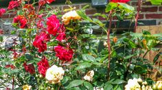 Rose bush in Normandy