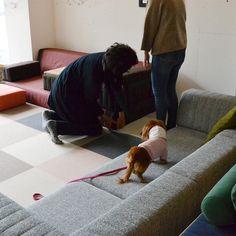ローソファ専門店HAREM / 偶数月に定例で開催しているペットイベント「愛犬とローソファを試してみよう」。こちらはご来店いただいたダックスフンドのももちゃんです!  ご注意点・参加方法などはHP詳細にて◎ ※ 完全予約制・先着順