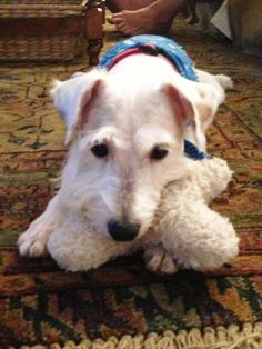 Jackson is a 7 years young mixed breed or pure bred, possibly Schnauzer and/or Fox Terrier.  He's on the small side, 20 lbs, and doesn't really shed.  He's extremely sweet, smart, loyal, and affectionate. Lap dog.  Loves to snuggle. He likes to be...