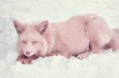 """Mika the pink fox! A fox color """"pink champagne"""".These animals were first bred in Canadian farm, one hundred years ago.They are so rare that currently exist only two such individuals worldwide.One lives. Pink Animals, Rare Animals, Unique Animals, Animals And Pets, Strange Animals, Colorful Animals, Pink Champagne Fox, Beautiful Creatures, Animals Beautiful"""