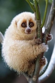 Slow Loris-- this animal belongs in the wild and not as a pet..