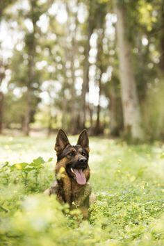 Kira.Fotografía de mascotas de Pastor Alemán. Fotografía de Mira al pajarito