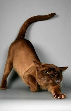 Male cat stretching.  The color is off - I think it was 'printed' too light.  But a Burmese nevertheless.