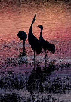 Cranes, Bosque del Apache National Wildlife Refuge, New Mexico