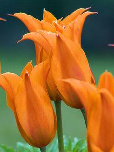 Tulip Ballerina -- Bluestone Perennials